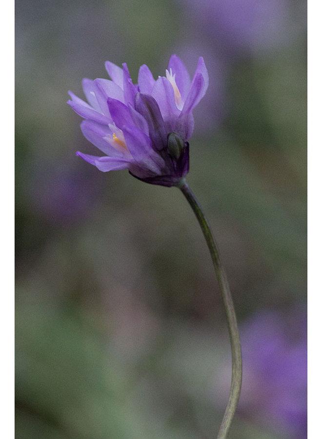 Dichelostemma capitatum - Blue Dicks, Wild Hyacinth (Seed)