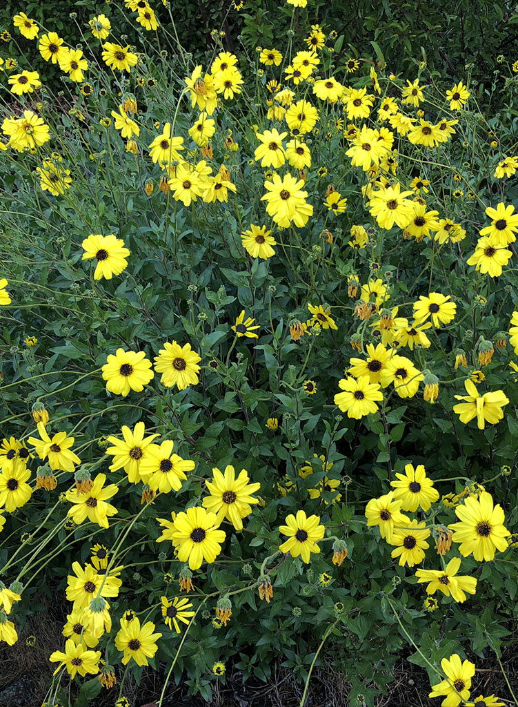 Encelia Californica California Bush Sunflower Seed Theodore Payne Foundation Store