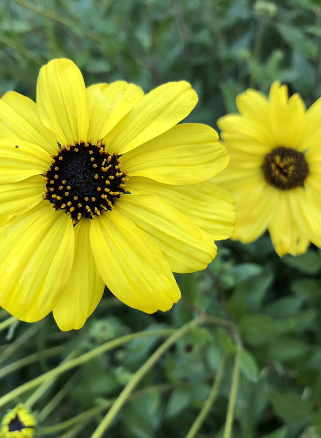 Encelia californica - Coast Sunflower, California Bush Sunflower (Seed)