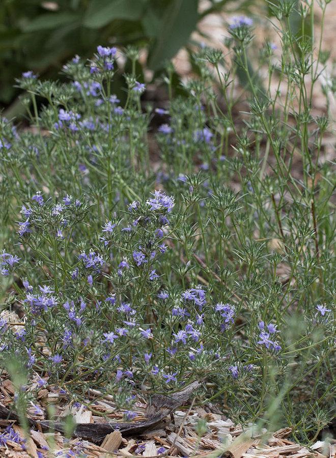 Eriastrum densifolium - Giant Eriastrum (Seed)