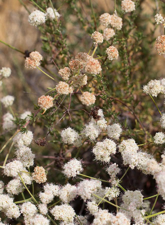 Eriogonum fasciculatum var. foliolosum - California Buckwheat (Seed)