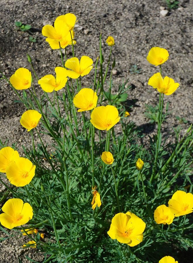 Eschscholzia caespitosa - Foothill Poppy, Tufted Poppy (Seed)