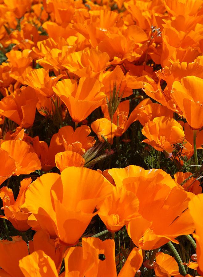 Eschscholzia californica - California Poppy (Seed)