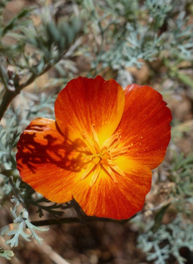 Eschscholzia californica 'Mahogany Red' - Mahogany Red California Poppy (Seed)