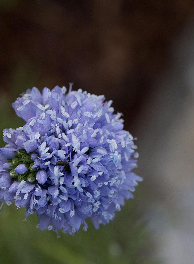 Gilia capitata - Globe Gilia, Bluehead Gilia (Seed)