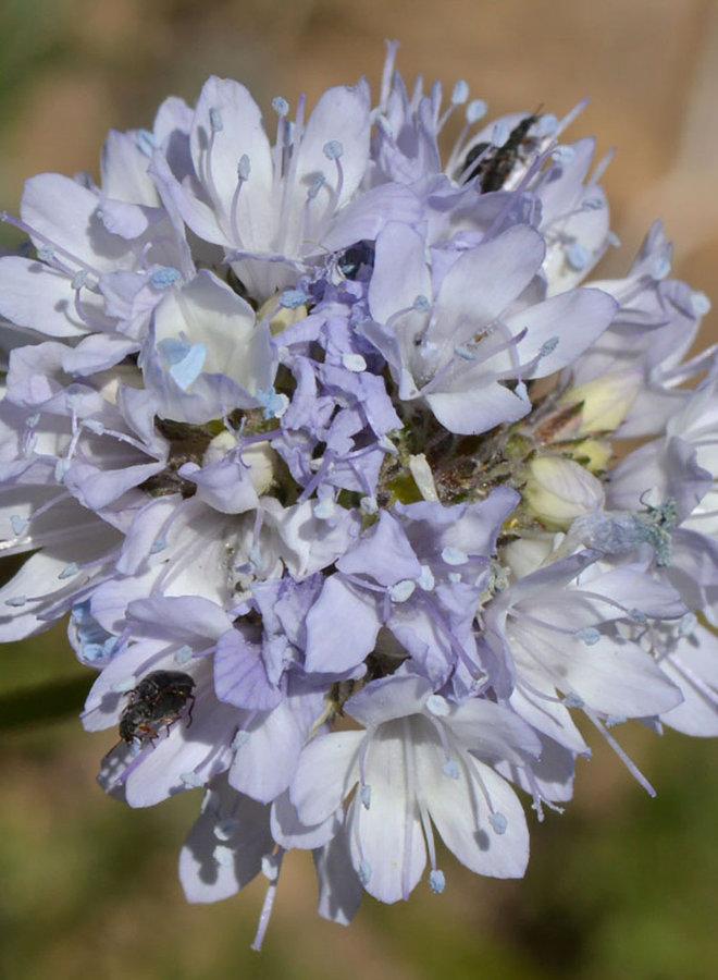 Gilia capitata - Globe Gilia (Seed)