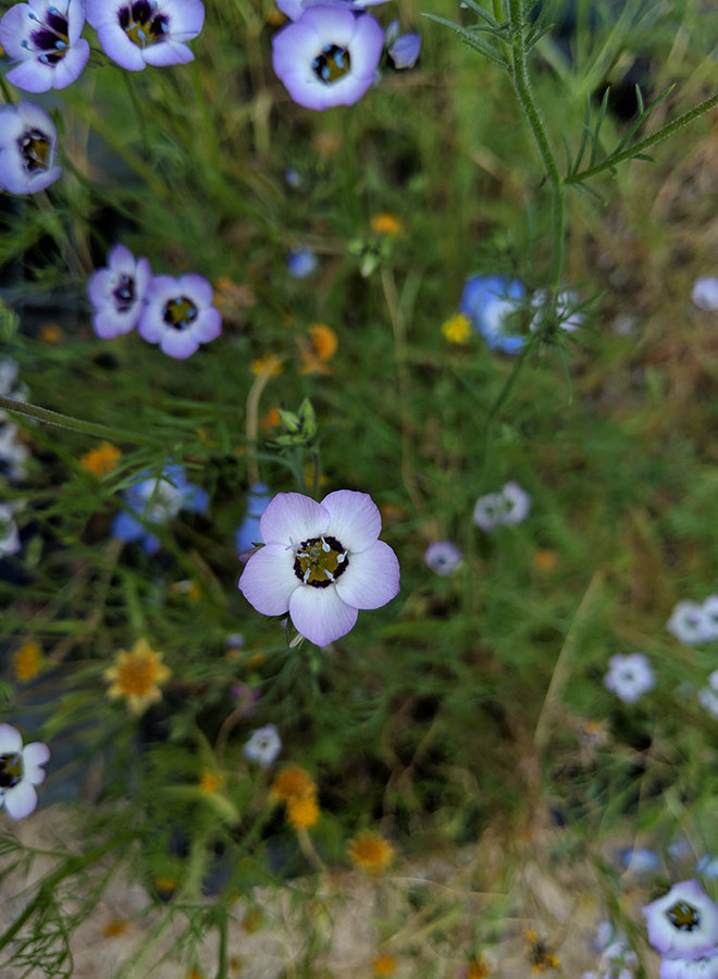 Gilia tricolor - Bird's Eyes (Seed)