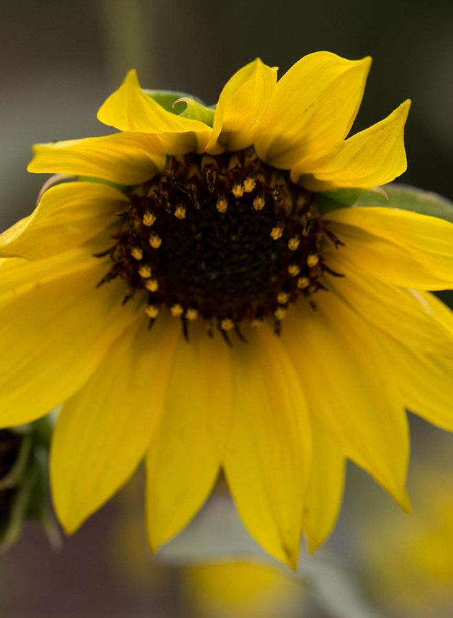 Helianthus annuus - Common Sunflower (Seed)