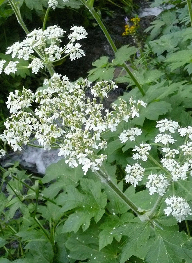 Heracleum maximum - Cow Parsnip (Seed)