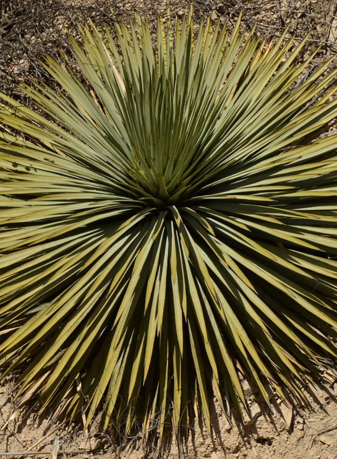 Hesperoyucca whipplei - Chaparral Yucca (Seed)