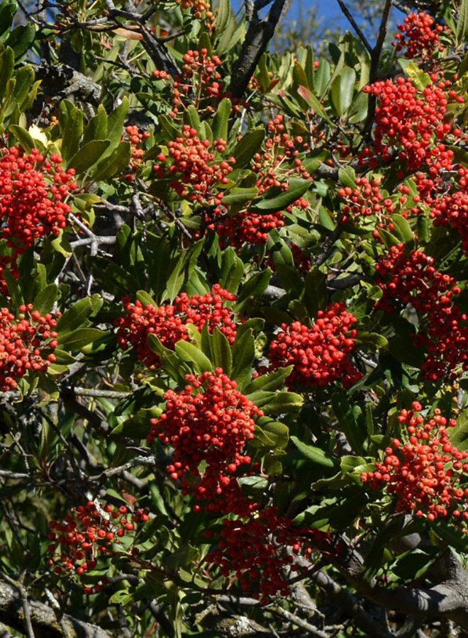 Heteromeles arbutifolia - Toyon, Christmas Berry (Seed)