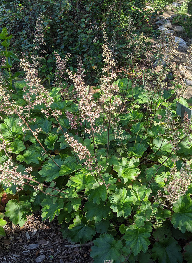 Heuchera maxima - Island Alumroot (Seed)