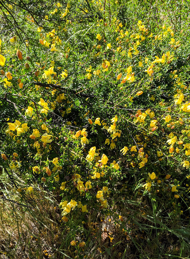 Keckiella antirrhinoides - Yellow Bush Penstemon (Seed)