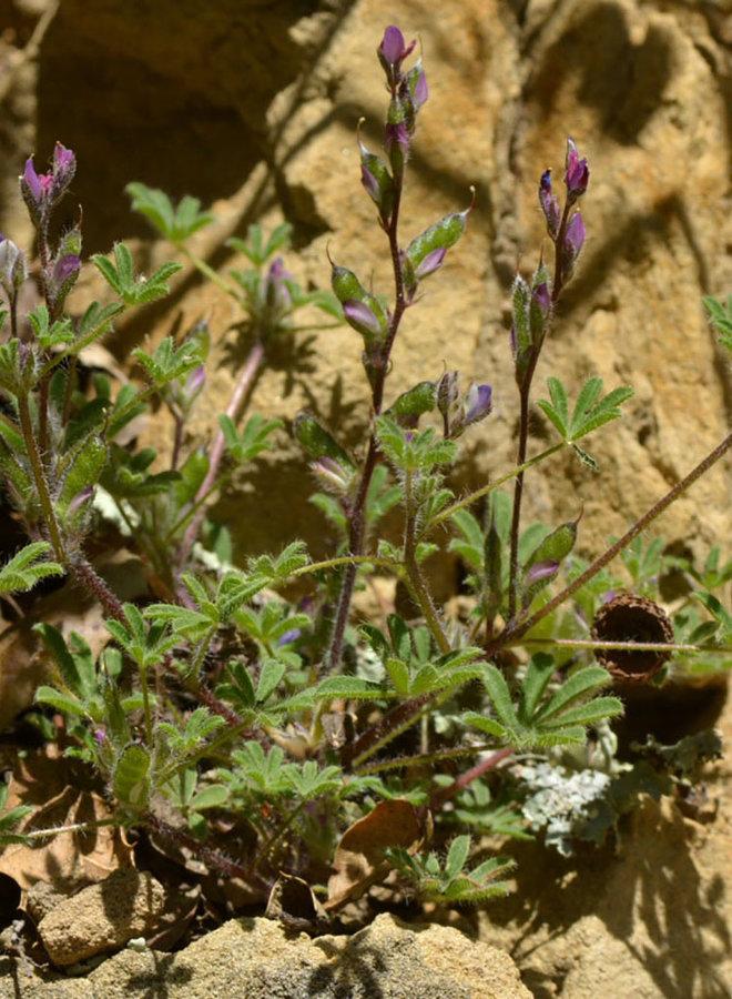 Lupinus hirsutissimus - Stinging Annual Lupine, Stinging Lupine (Seed)