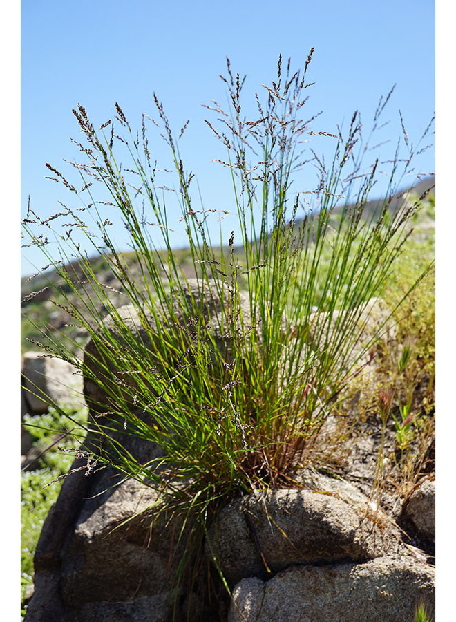 Melica imperfecta - Oniongrass, Small-Flowered Melic (Seed)