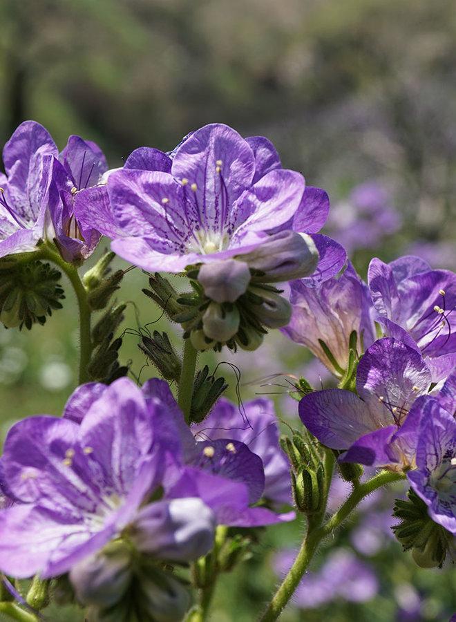 Phacelia grandiflora - Giant Flowered Phacelia (Seed)