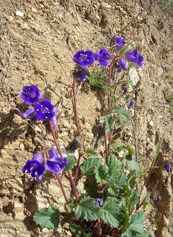 Phacelia minor - Canterbury Bells (Seed)