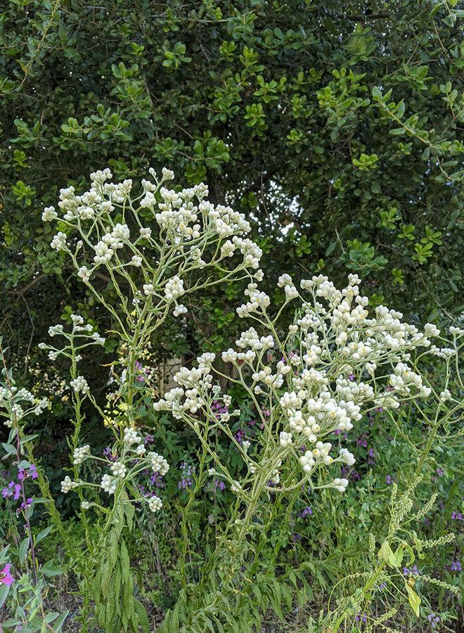 Pseudognaphalium californicum - Pearly Everlasting (Seed)