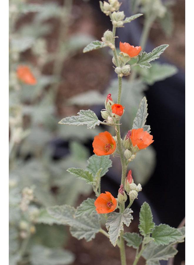Sphaeralcea ambigua - Apricot Mallow (Seed)