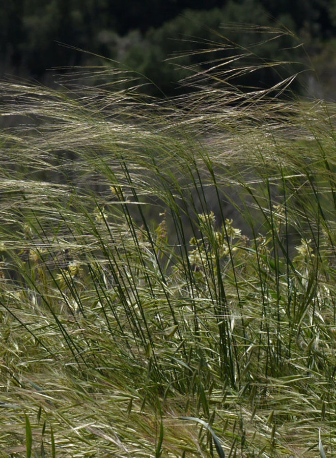 Stipa cernua - Nodding Needlgrass (Seed)