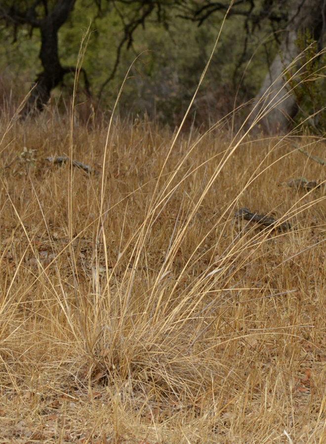 Stipa cernua - Nodding Needlegrass (Seed)
