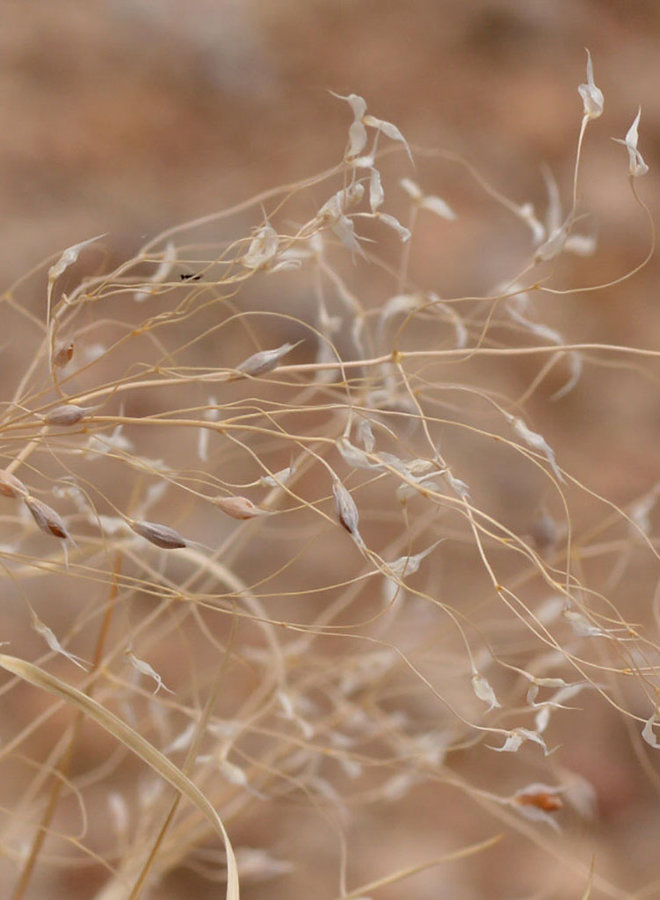 Stipa hymenoides - Indian Ricegrass, Sand Grass (Seed)