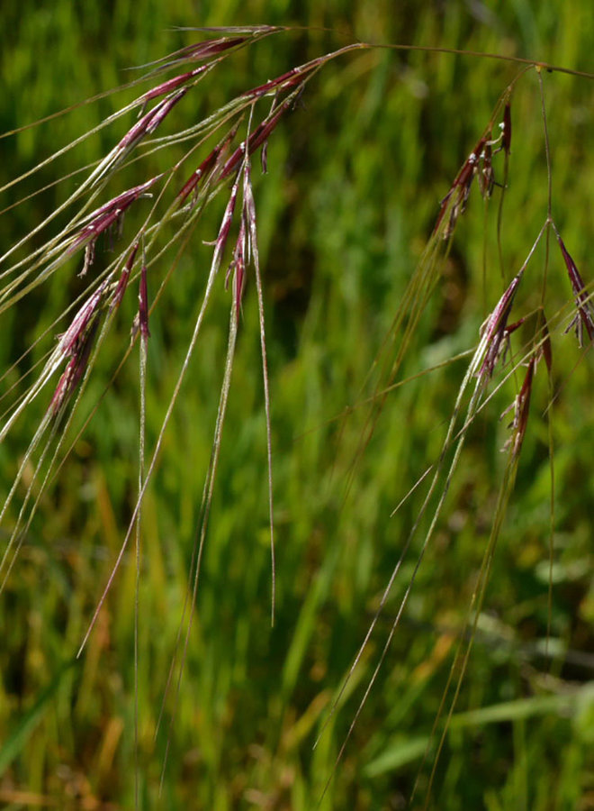 Stipa pulchra - Purple Needlegrass (Seed)