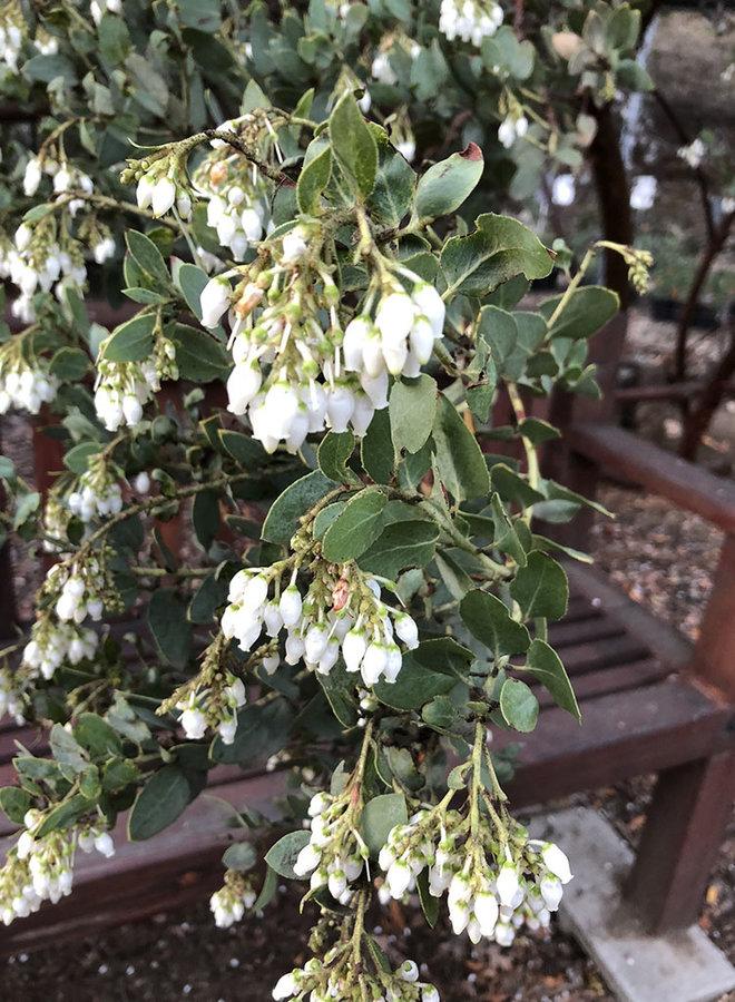 Arctostaphylos 'TPF Blue' - TPF Blue Manzanita (Plant)