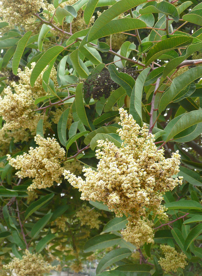 Malosma laurina - Laurel Sumac (Plant)