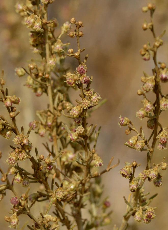 Artemisia californica - California Sagebrush (Seed)