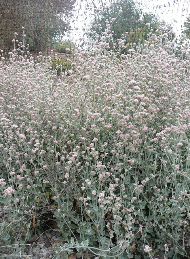 Eriogonum cinereum - Ashy-Leaf Buckwheat (Seed)