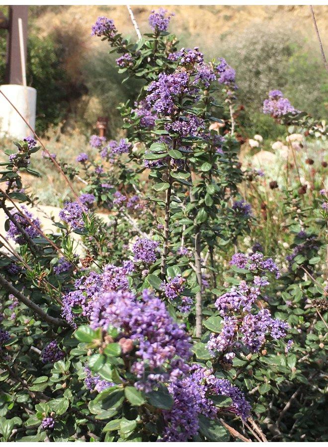 Ceanothus maritimus 'Valley Violet' - Valley Violet Maritime Ceanothus (Plant)