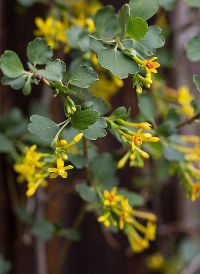 Ribes aureum var. gracillimum - Golden Currant (Plant)