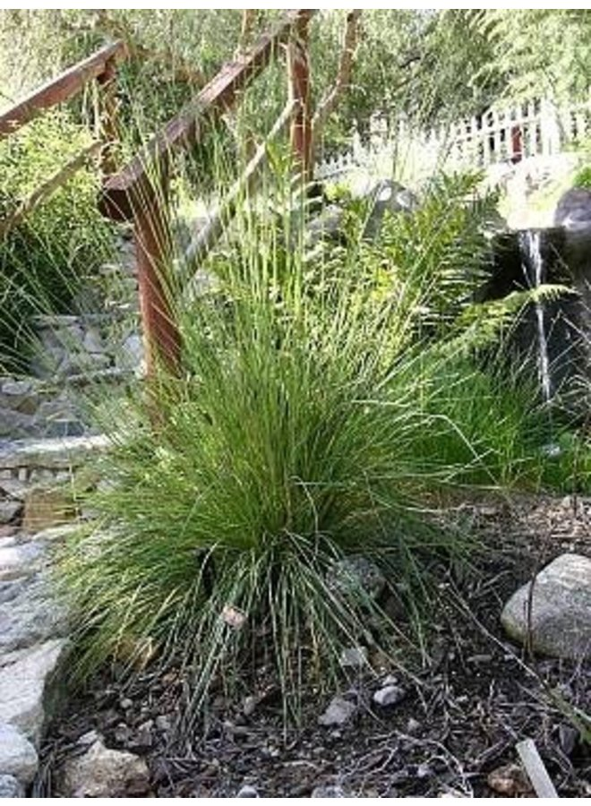 Festuca californica - California Fescue (Plant)