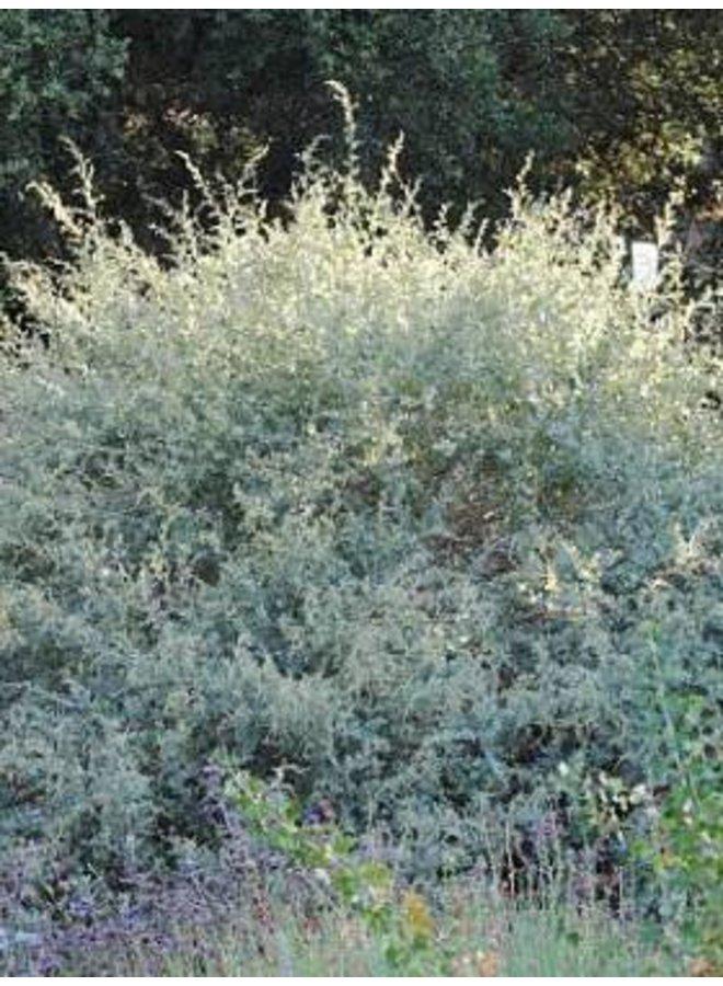 Atriplex lentiformis - Quail Bush, Big Saltbush (Seed)