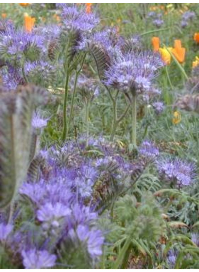 Phacelia tanacetifolia - Tansy Leaved Phacelia (Seed)