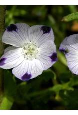 TPF Nemophila maculata - Five Spot (Seed)