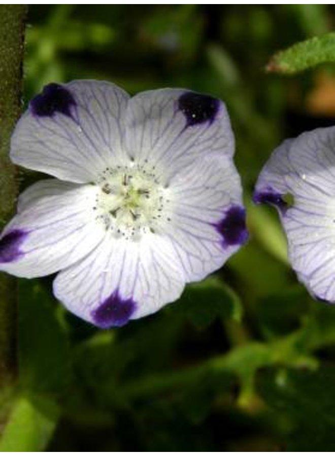 Nemophila maculata - Fivespot (Seed)