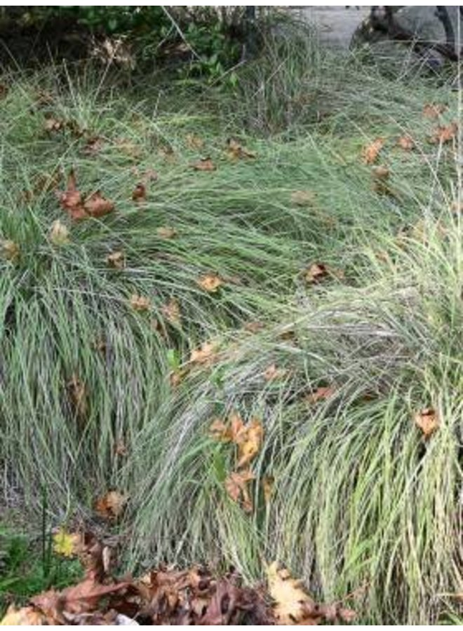 Muhlenbergia rigens - Deergrass (Seed)
