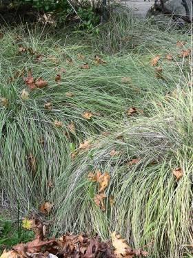 TPF Muhlenbergia rigens - Deergrass (Seed)