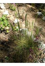 TPF Koeleria macrantha - June Grass (Seed)