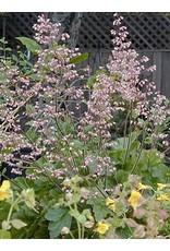 TPF Heuchera maxima - Island Alumroot (Seed)