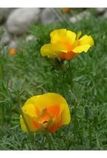 TPF Eschscholzia californica var. maritima - Coast Poppy (Seed)