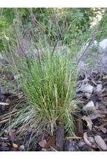 TPF Deschampsia elongata - Slender Hairgrass (Seed)
