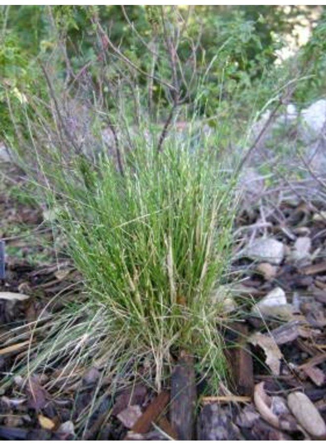 Deschampsia elongata - Slender Hairgrass (Seed)