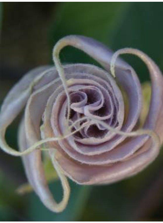 Datura wrightii - Jimsonweed (Seed)