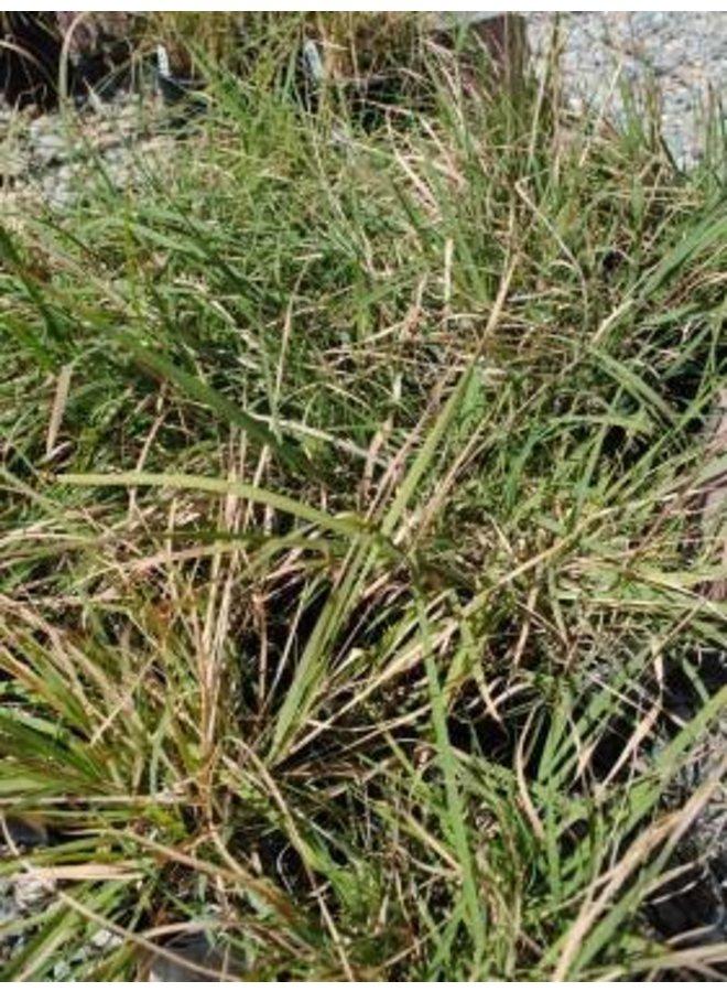 Bouteloua curtipendula - Side Oats Grama (Seed)
