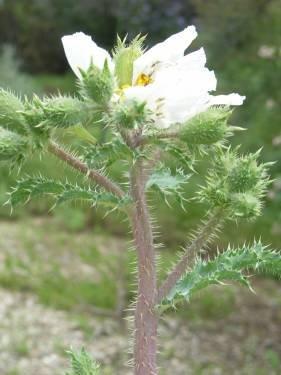 TPF Argemone munita - Prickly Poppy (Seed)