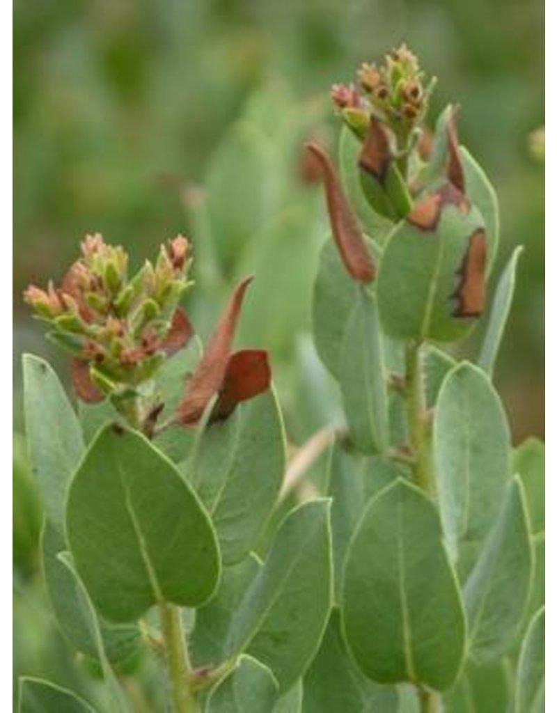 TPF Arctostaphylos catalinae - Catalina Manzanita (Seed)