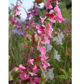 TPF Clarkia unguiculata - Elegant Clarkia (Seed)